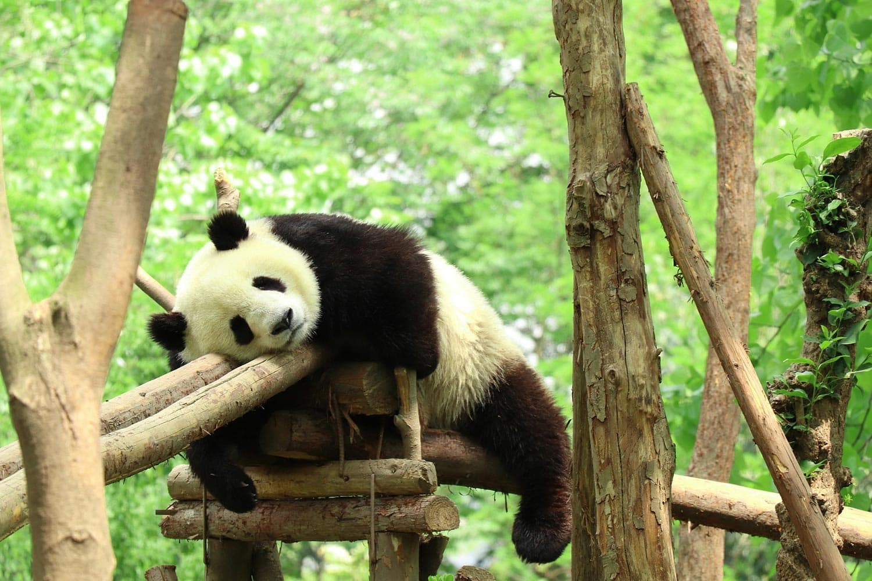 Panda voyage en Chine