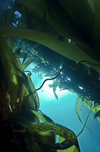 Kelp Forests of California