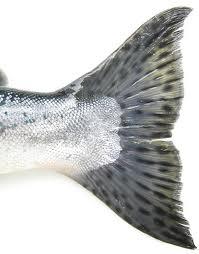 short silver fish tail