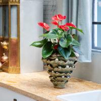 Turenza Anthurium - Amazone Plants