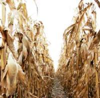 A remény növénye lett a kukorica