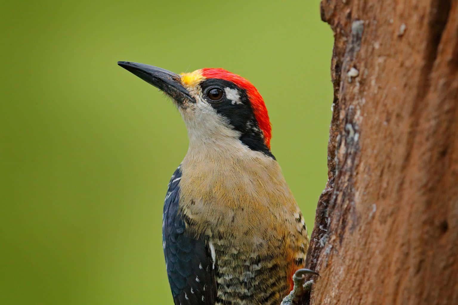 Woodpeckers In North Dakota