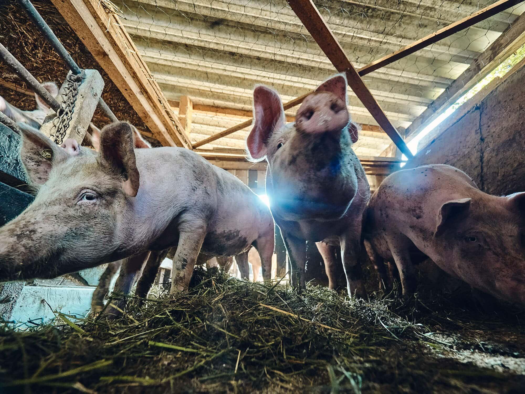 Schwäbisch-Hällisches Landschwein vom Bauernhof Fetz