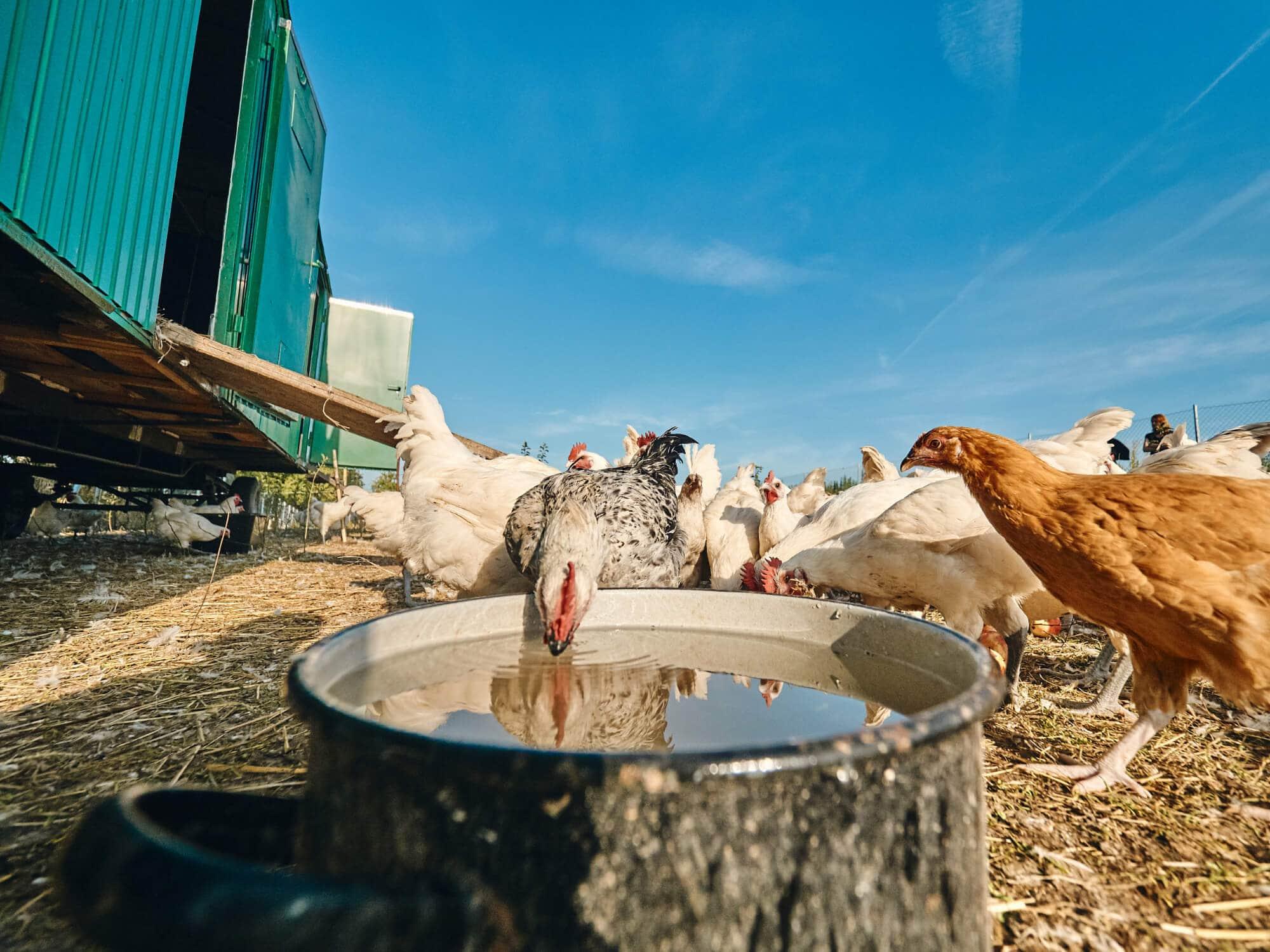 Les Bleues – Hühner-Haltung in Götteldorf