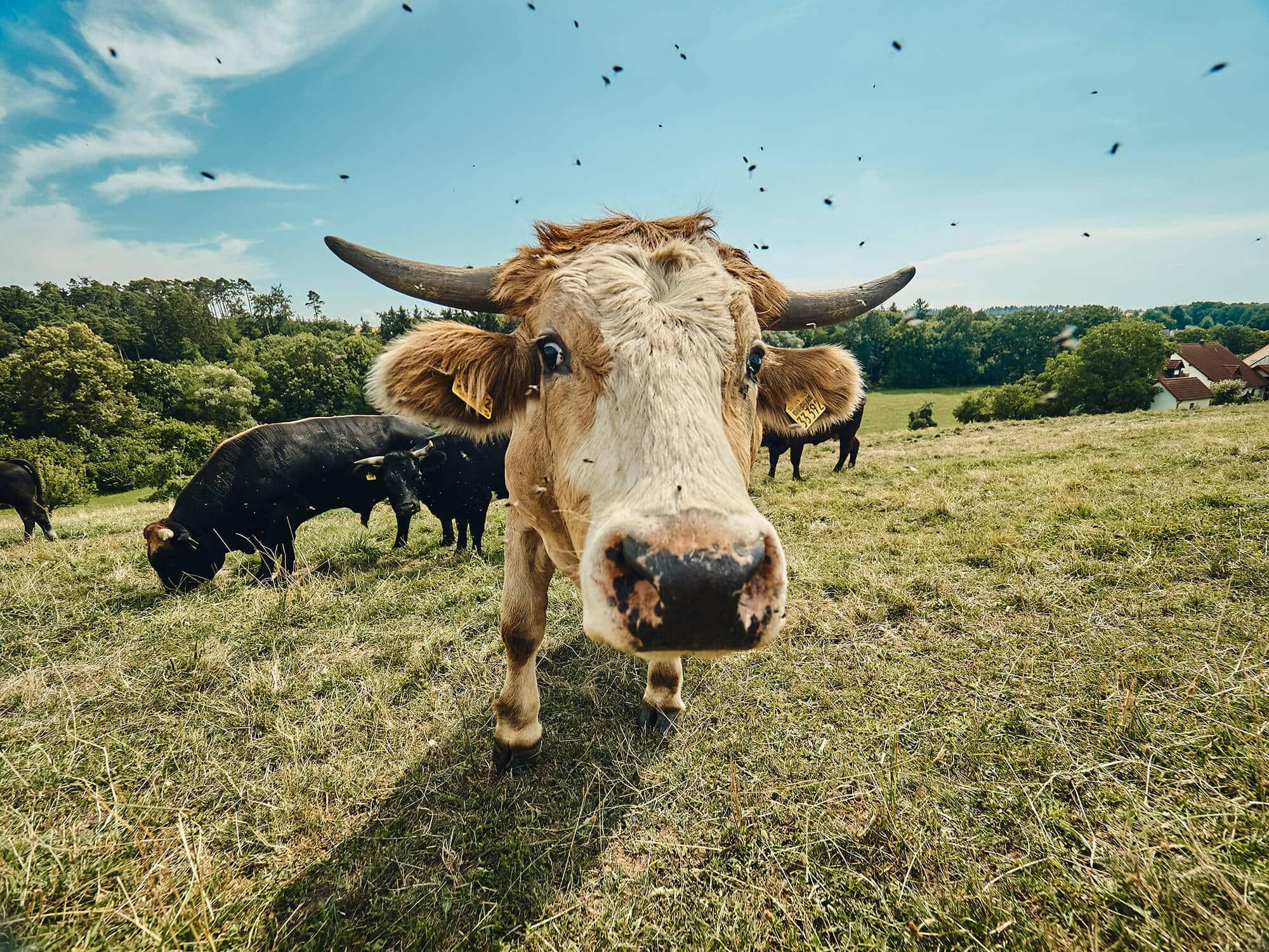 Rinder in Freilandhaltung – Bauernhof Fetz