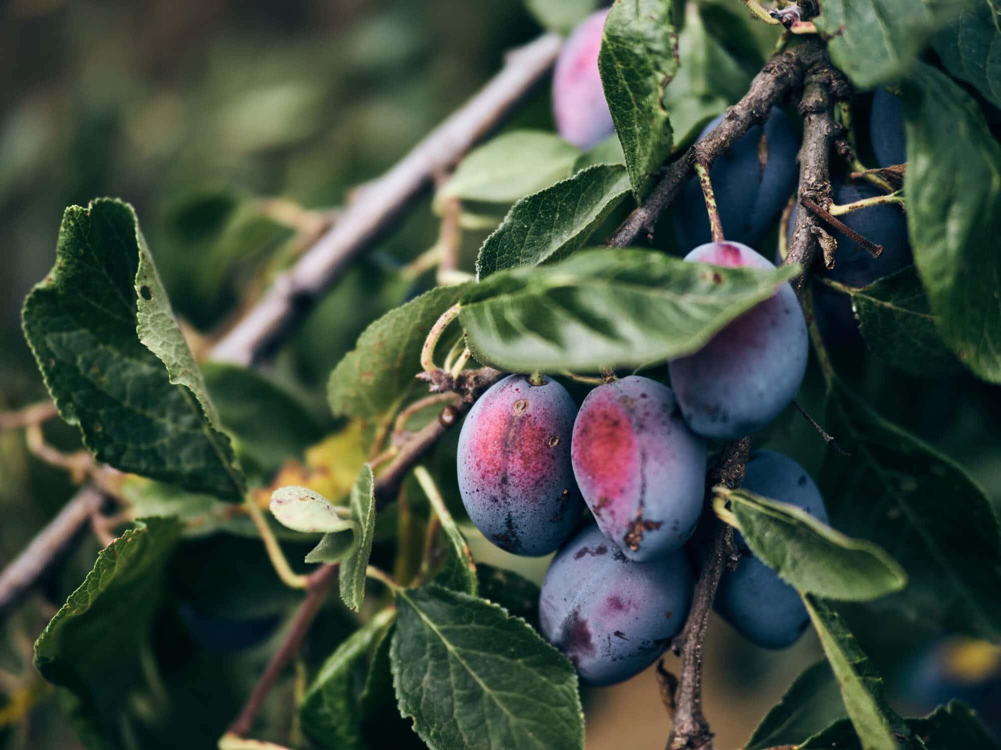 Obst vom Bauernhof Fetz