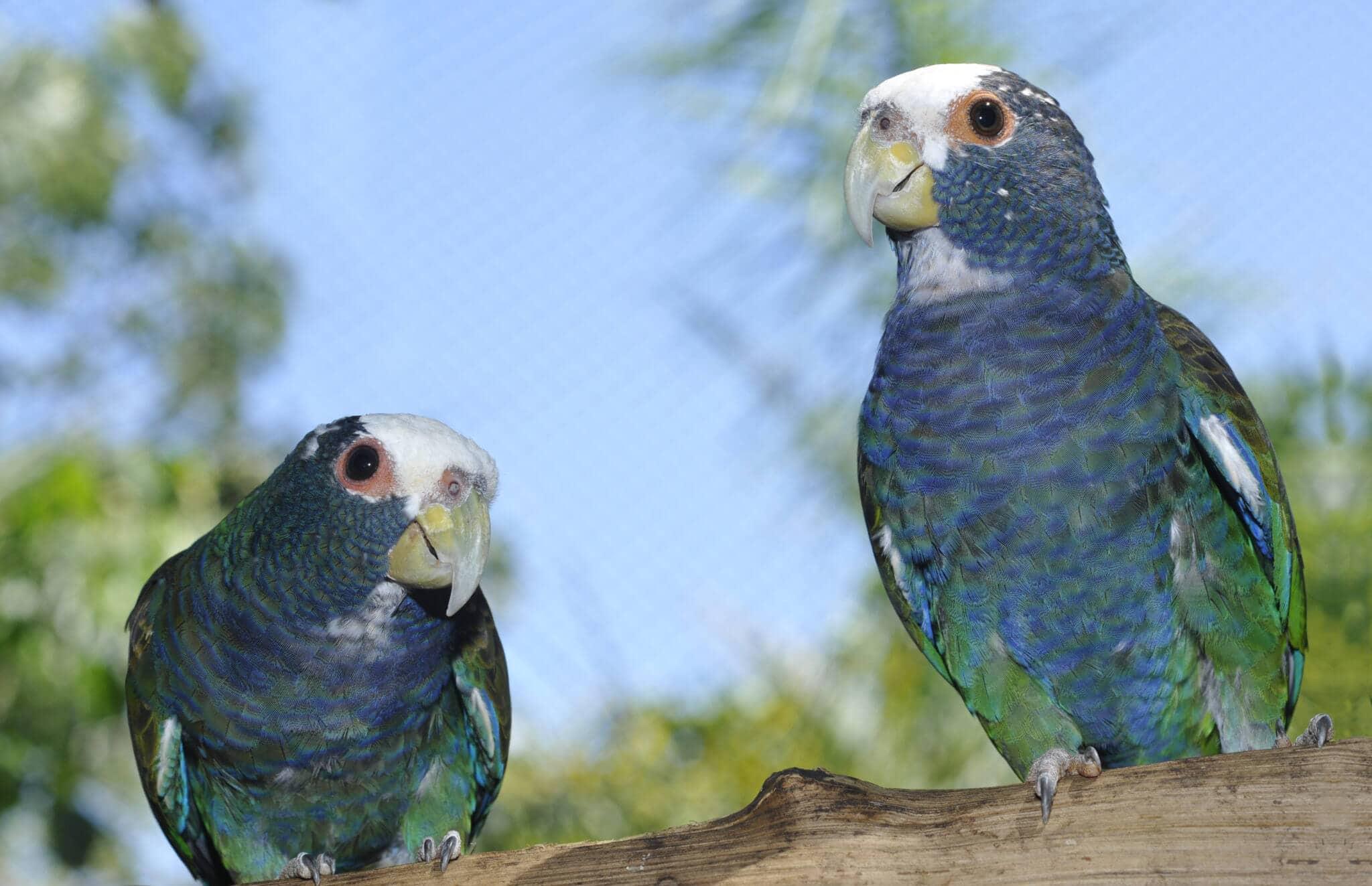 White cap parrot