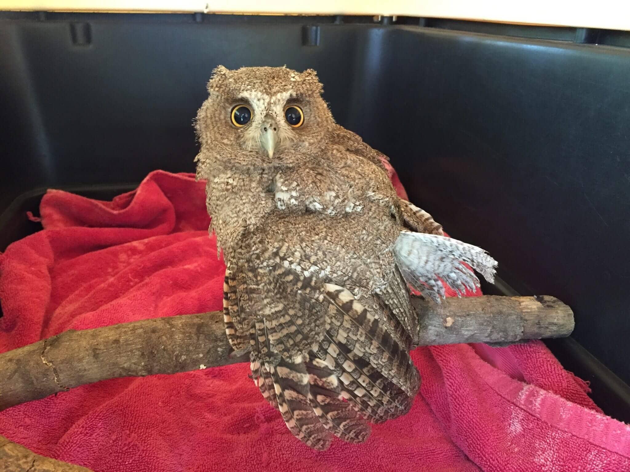 Owl (<em> Megascops cooperi</en>).