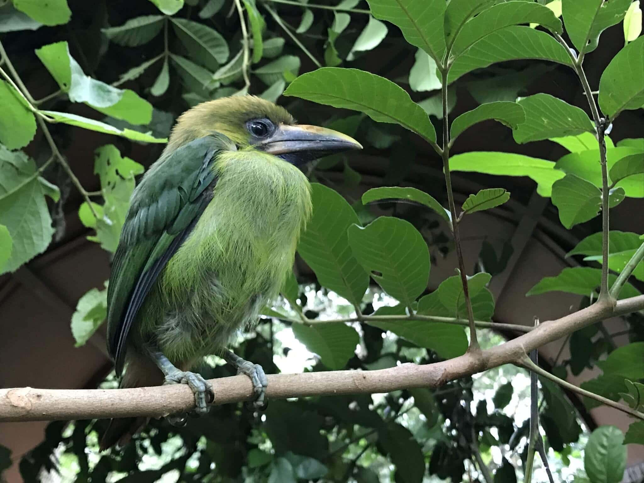 Emerald toucan rescue