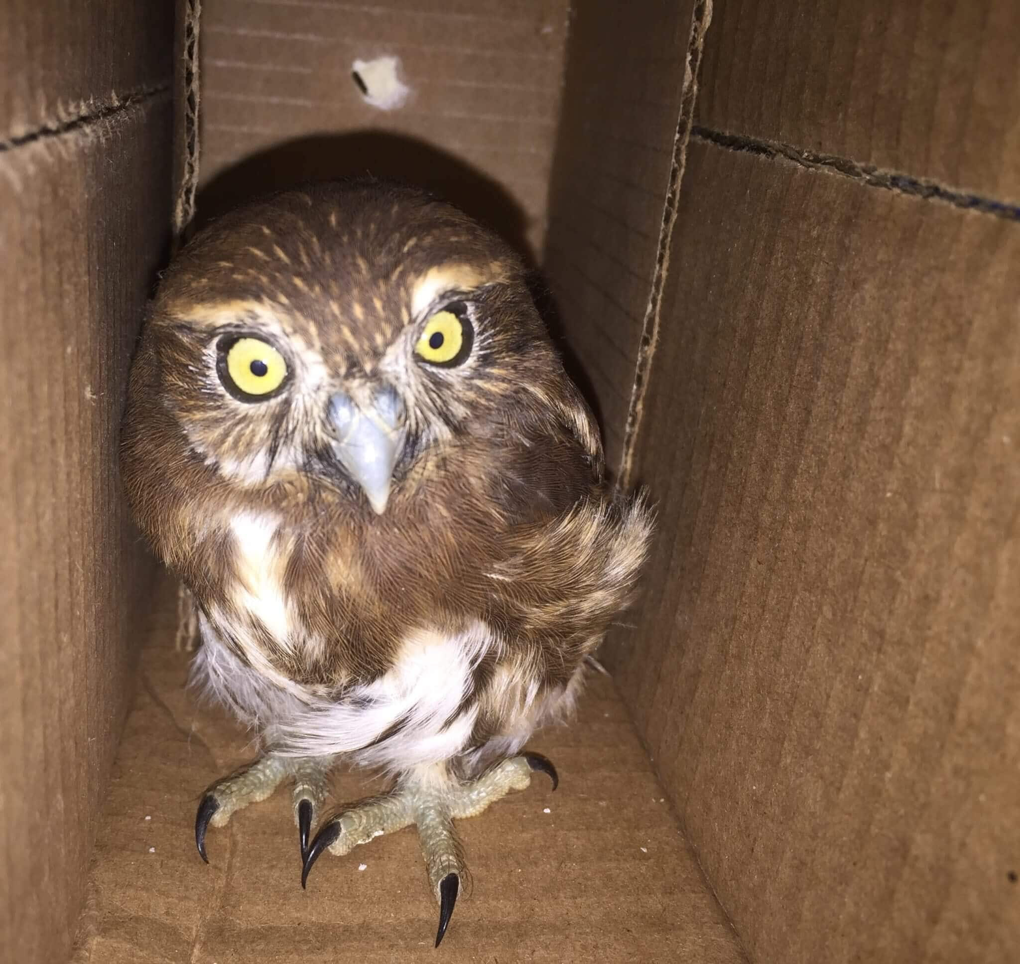 Pygmy Owl (<i> Glaucidium costaricanum </ i>) rescued in Puntarenas