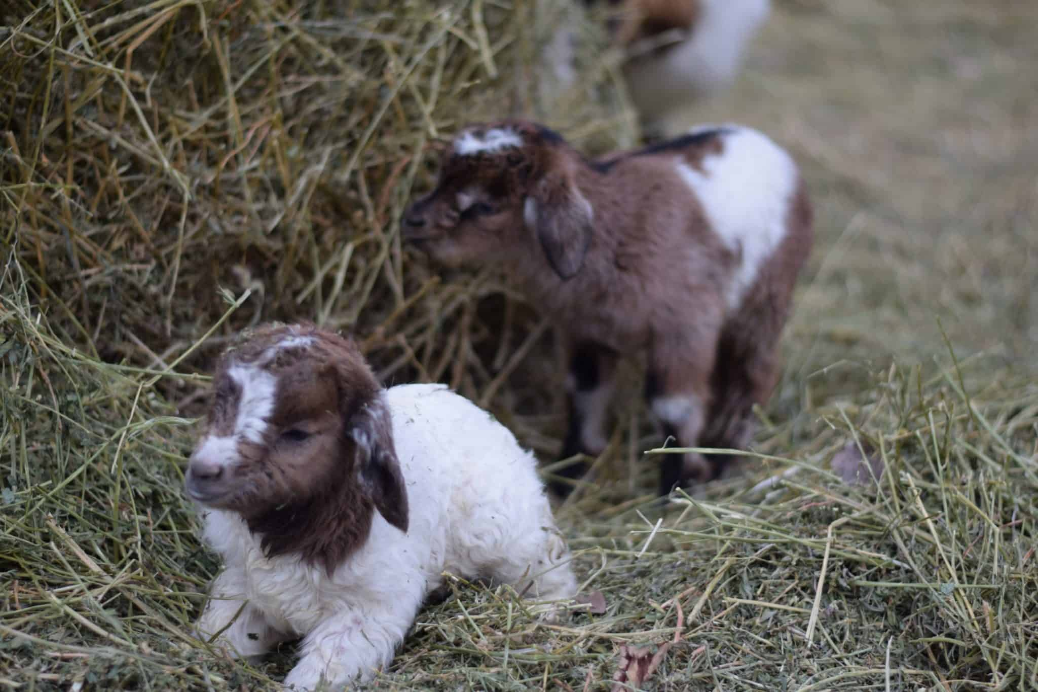two newly born baby goats standing on hay bedding and next to a large hay bale.