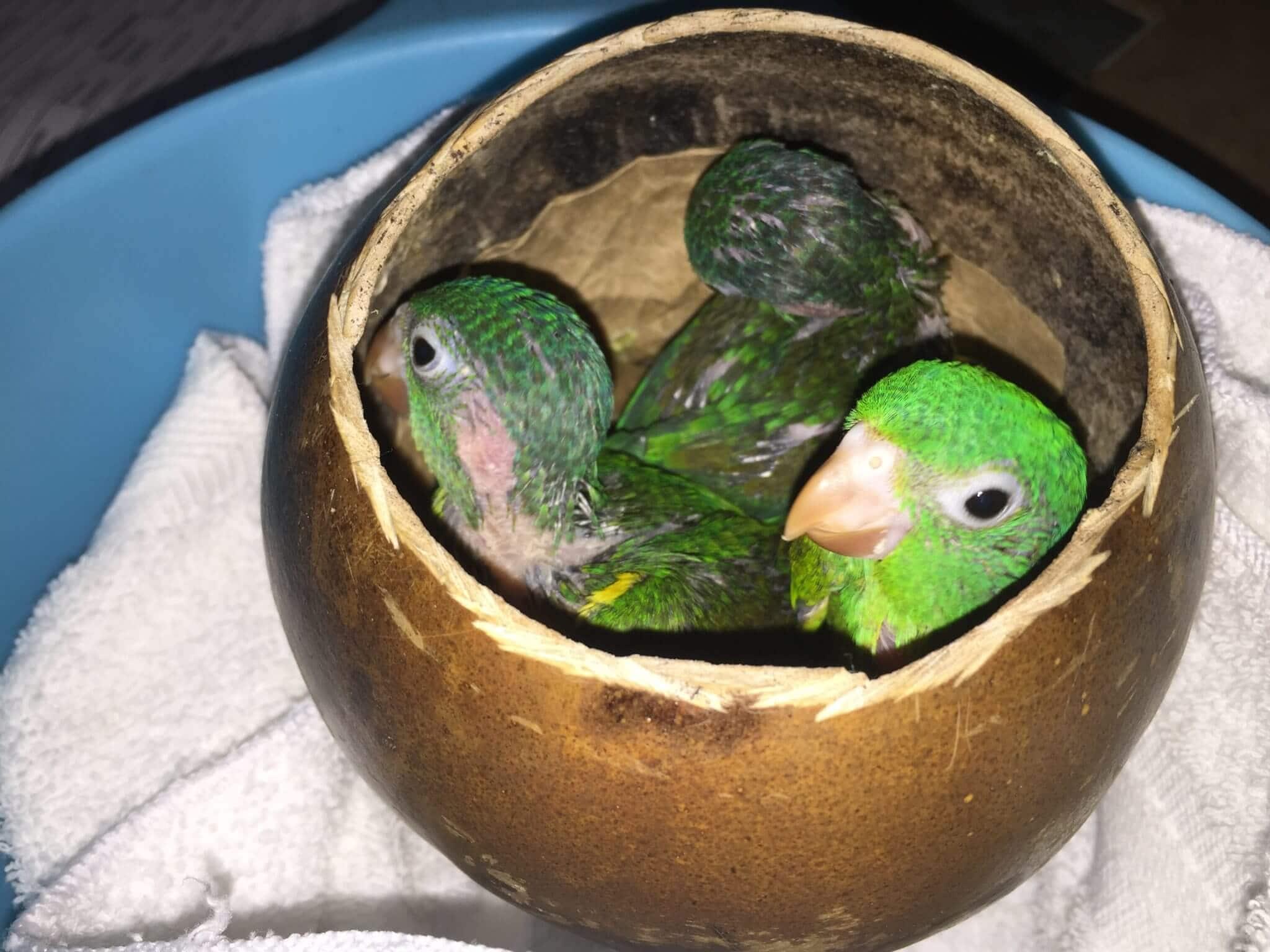 Orange-chinned Parakeet (<em>Brotogeris jugularis</em>)
