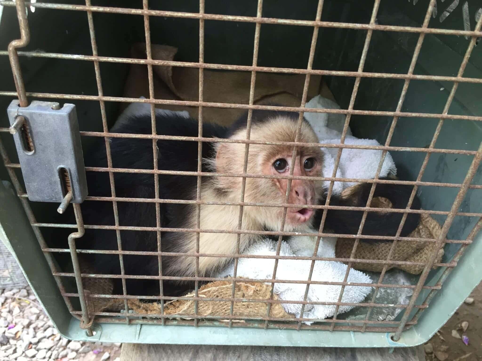 White-faced monkey (<i> Cebus imitator </ i>)