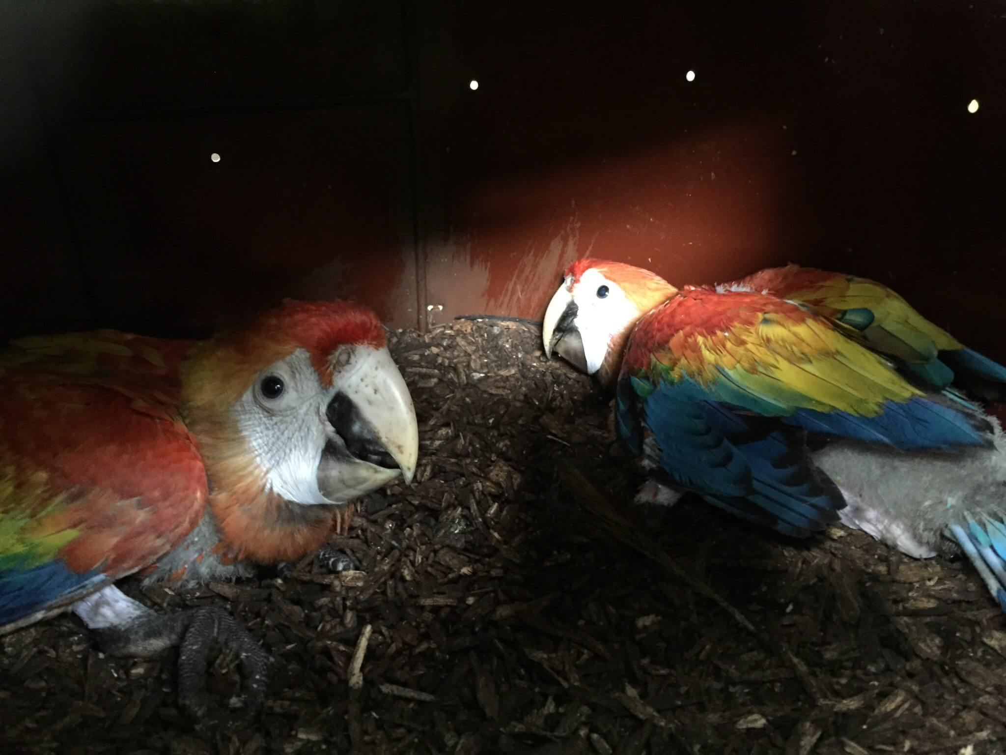 Cría de guacamayos rojos en nidos artificiales (<em>ara Macao</em>).