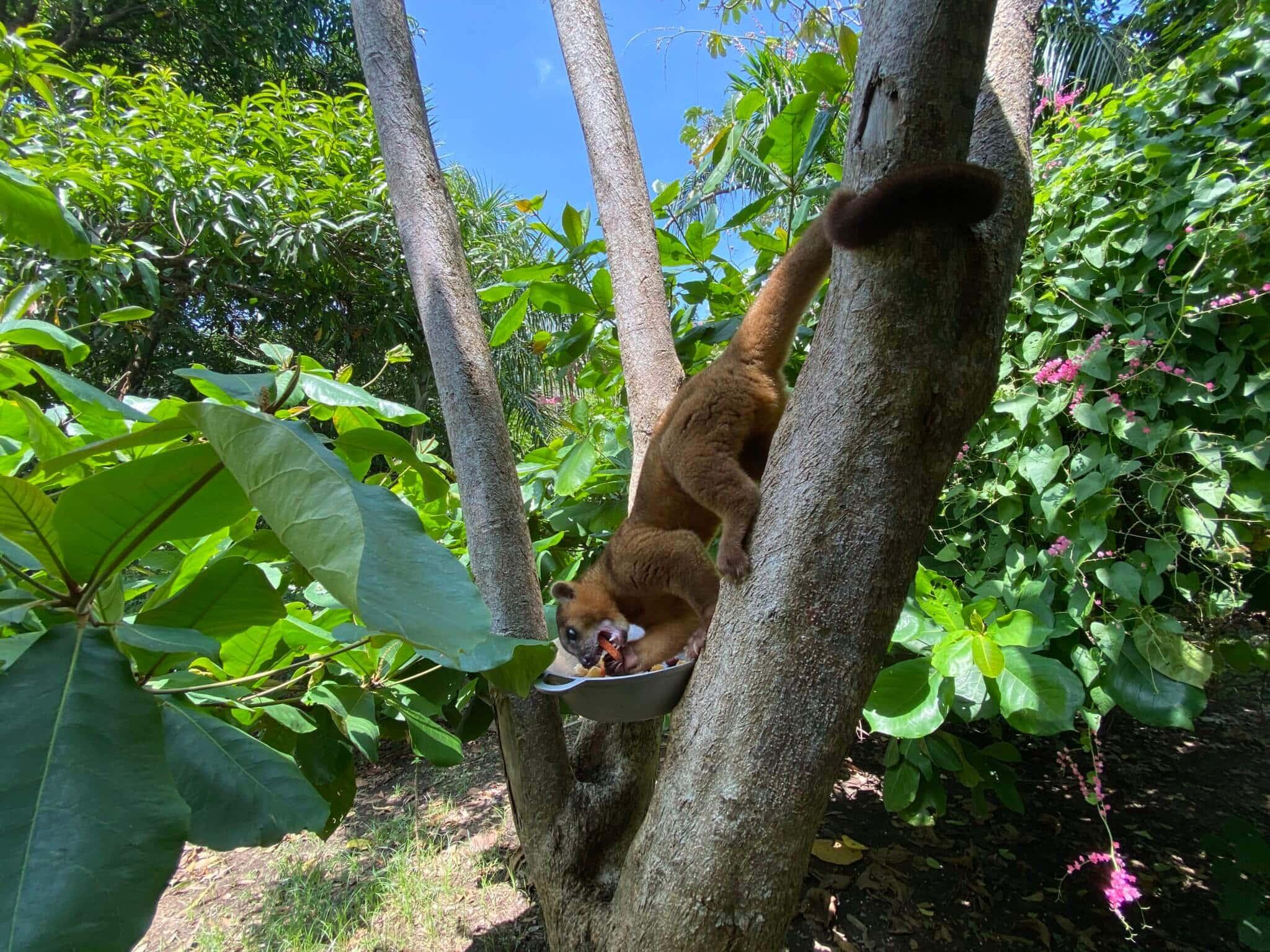 El Kinkajou en Costa Rica, Manejo en cautiverio del Kinkajou en NATUWA Santuario de animales silvestres