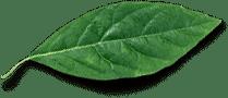 hemp-leaf