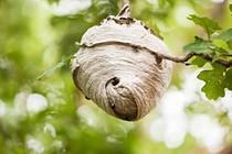 Bald faced hornets