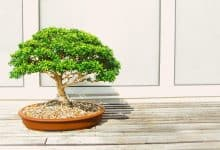 Photo of Cẩm nang cắt tỉa bonsai