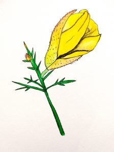 gorse flower drawing by Angelique