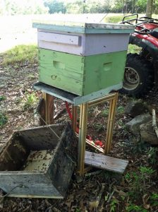 Removing bees from a bait hive to a new hive box sitting on a stand.
