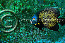 French Angelfish, Pomacanthus paru, Oro Verde shipwreck, (Bloch, 1787), Grand Cayman (Steven Smeltzer)