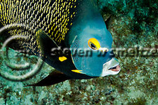 French Angelfish, Face of an Angel, Pomacanthus paru, (Bloch, 1787), Grand Cayman (StevenWSmeltzer.com)
