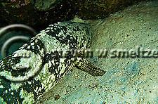 Goliath Grouper, Epinephelus itajara, Grand Cayman (Steven Smeltzer)
