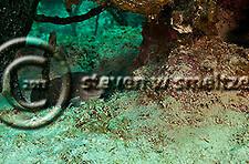 Greater Soapfish, Rypticus saponaceus (Bloch & Schneider, 1801), Grand Cayman (StevenWSmeltzer.com)