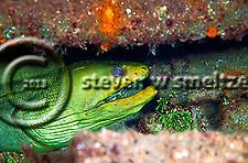 Green Moray Eel in Oro Verde wreck, Gymnothorax funebris, Ranzani, 1840, Grand Cayman (Steven Smeltzer)