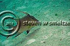 Hogfish, Intermediate, Lachnolaimus maximus, Grand Cayman (Steven Smeltzer)