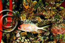 Longspine Squirrelfish, Holocentrus rufus, (Walbaum, 1792), Grand Cayman (StevenWSmeltzer.com)