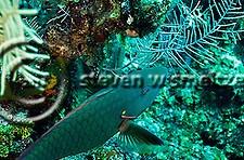 Spotlight Parrotfish Initial Phase, Sparisoma viride, (Bonnaterre, 1788), Grand Cayman (Steven W Smeltzer)