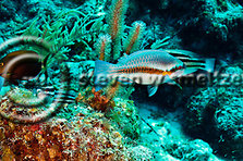 Striped Parrotfish, Scarus iseri, (Bloch, 1789), Grand Cayman (StevenWSmeltzer.com)