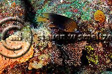 Threespot Damselfish, Stegastes planifrons, (Cuvier, 1830), Grand Cayman (StevenWSmeltzer.com)