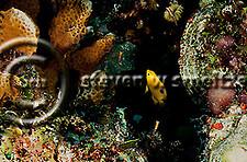 Threespot Damselfish Juvenile, Stegastes planifrons, Grand Cayman (Steven Smeltzer)