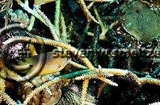 Threespot Damselfish, Stegastes variabilis, Caribbean (StevenWSmeltzer.com)