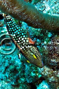 Spotlight Parrotfish Initial Phase, Sparisoma viride, (Bonnaterre, 1788), Grand Cayman (Steven Smeltzer)