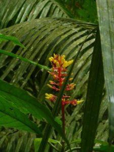 Common Plants of the Amazon Rainforest, Palicourea