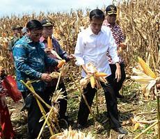 Presiden Jokowi saat panen raya jagung, di Dompu, NTB, Sabtu (11/4)
