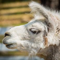 Profile image of llama Alexa