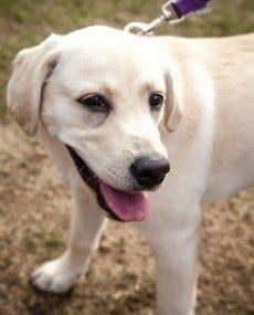 Happy Labrador Puppy Walking on a Leash