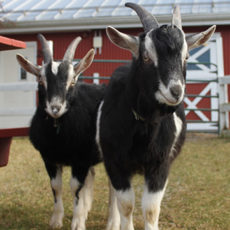Green Chimneys goats help children grow