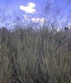rumput mombaca kekeringan