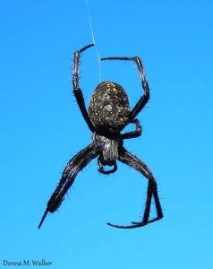 Western spotted orb-weaver spider