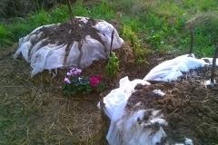 compost ciclamini