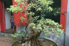 Bonzai dans temple de Hanoi