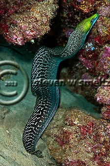 Undulated Moray, Gymnothorax undulatus, moray eel photos, Maui, Hawaii (Steven Smeltzer)