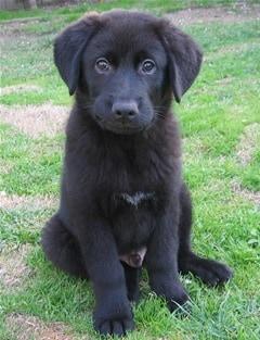 Black Australian Shepherd Lab mix puppy