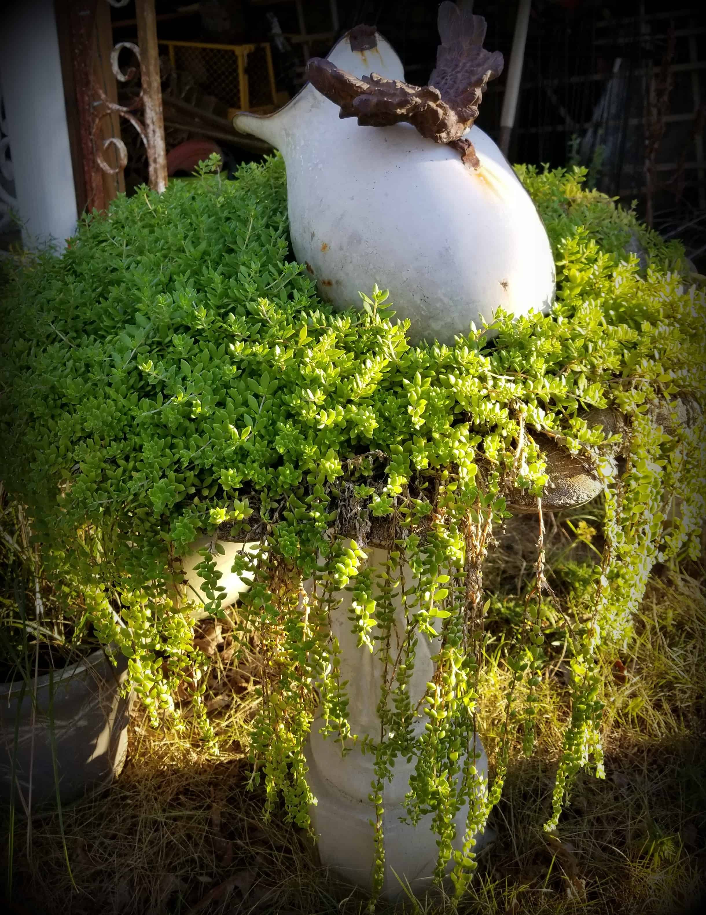 sun setting on trailing sedum in birdbath planter