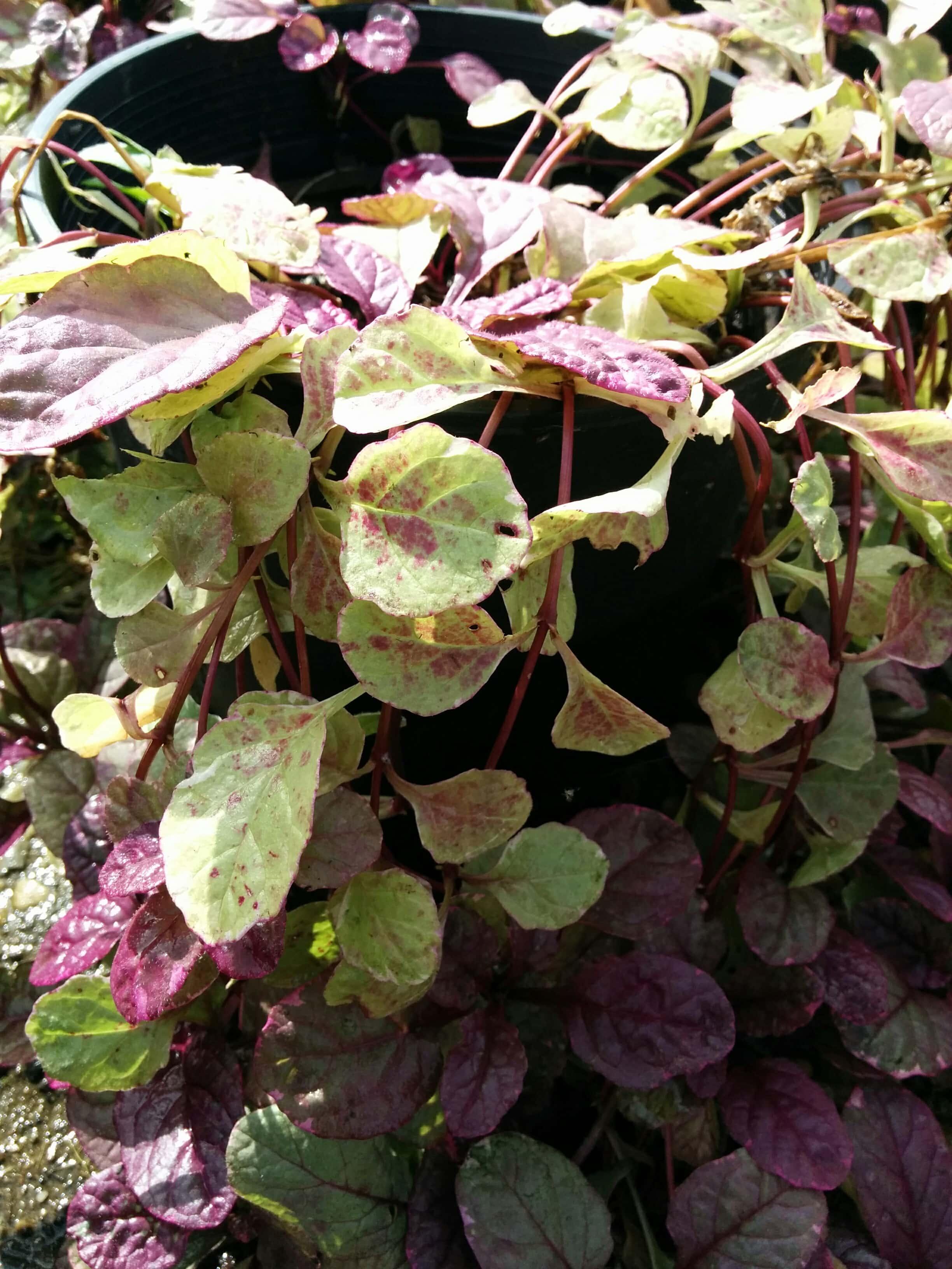 Bronze Beauty Bugleweed Foliage Close Up